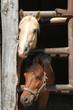 Zwei neugierige Ponys - 66901761