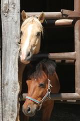 Zwei neugierige Ponys