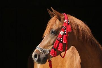 Pony mit rotem Zaumzeug