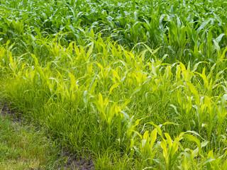 Maisanbau - Mais - Schäden durch Erdmandelgras