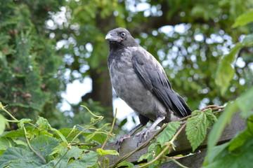 junge Nebelkrähe / Jungvogel