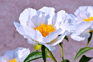 Blooming white peony flowers in the garden