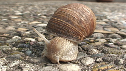 big snail crawling on the concrete sidewalk