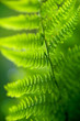 back lit fern leaf
