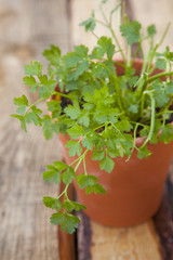 Fresh cilantro, also known as coriander, in a pot.