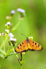 Acraea violae butterfly with open wings on on wild grass flower.
