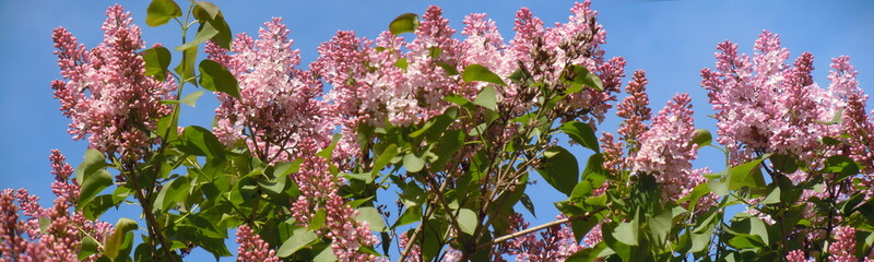 Common lilac (Syringa vulgaris)