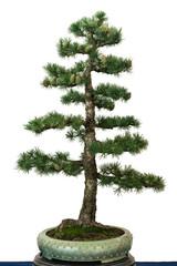 Europäische Lärche als Bonsai Baum