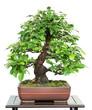 Chinesische Quitte als Bonsai Baum
