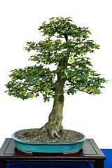 Feldahorn als Bonsai Baum
