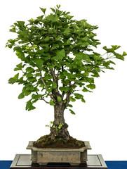 Ginkgo als Bonsai Baum