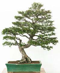Chinesische Ulme als Bonsai Baum