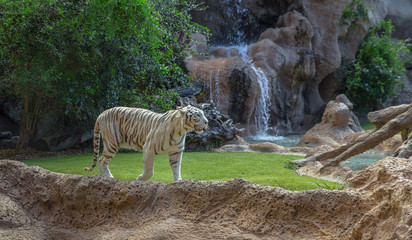 A white tiger walking in its enclosure