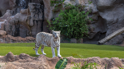 A white tiger in its nature enclosure