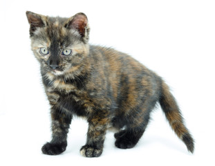 Tortoise Shell Kitten