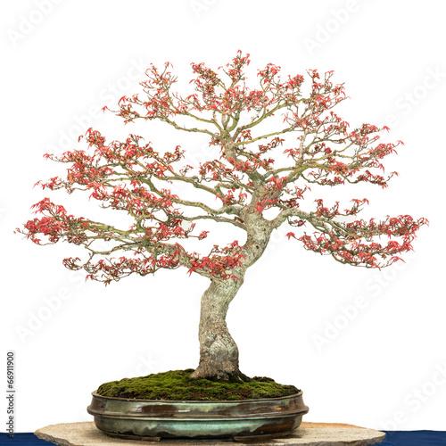 Fotobehang Bonsai Ahornbaum als Bonsai Baum