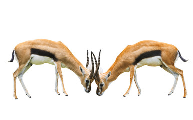 Thomson s gazelle isolated white background