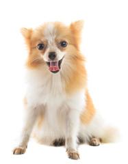 lovely face fancy pomeranian  dog sitting on white background