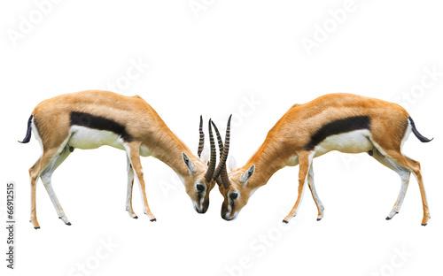 Papiers peints Antilope Thomson s gazelle isolated white background