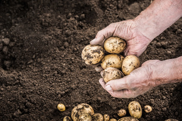 Hands harvesting fresh potatoes from garden