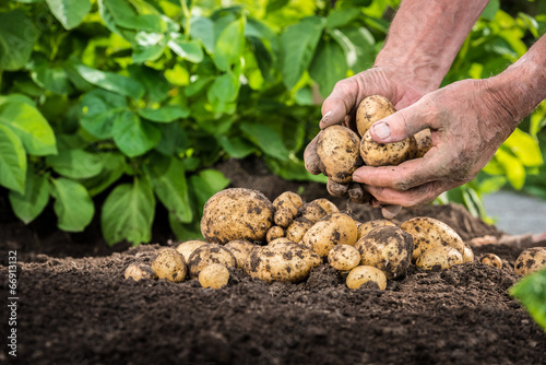Leinwandbild Motiv Hands harvesting fresh potatoes from soil