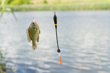 Fish on hook dangling from fishing line