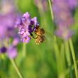 Honigbiene auf Lavendel