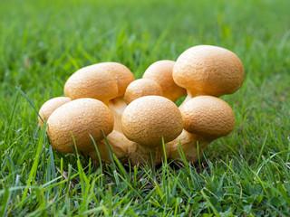 Pilze - Beringter Flämmling - junge Lamellenpilze