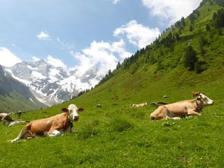 liegende Almkühe auf einer Bergwiese
