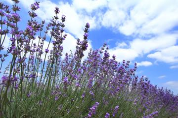 Lavender fields against blue sky
