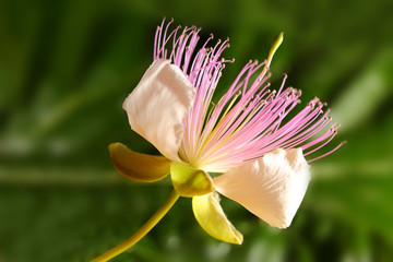 Caper blooming flower macro shot
