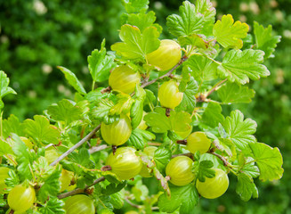 Fresh gooseberries isolated on white.