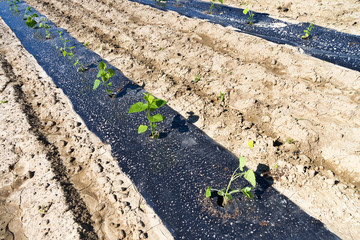 Rows of planted paulownia seedlings