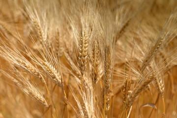 champs de céréa