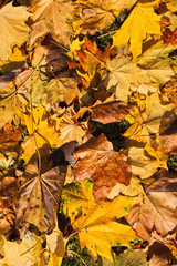 Background of fallen leaves of maple