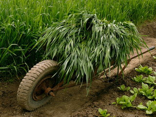 wheelbarrow full of green grass