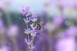 Obrazy na płótnie, fototapety, zdjęcia, fotoobrazy drukowane : Honey bee on blooming lavender flowers closeup