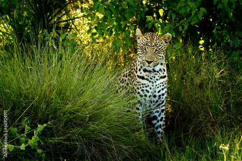canvas print picture Leopard VII