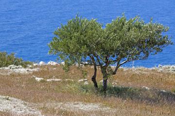 Olivenbaum auf vertrockneter Wiese, Griechenland