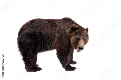 Aluminium Dragen Brown bear, Ursus arctos