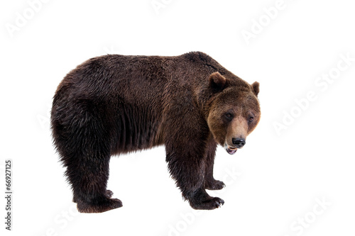 Plexiglas Dragen Brown bear, Ursus arctos