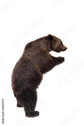 Foto Spatwand Dragen Brown bear, Ursus arctos