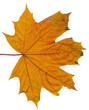 Autumn or fall leaf isolated