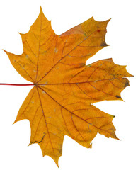 Autumn or fall leaf isolated