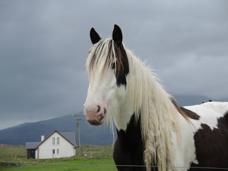 Cheval irlandais 2