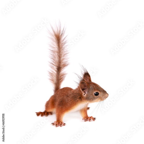 In de dag Eekhoorn Eurasian red Squirrel, Sciurus Vulgaris on white