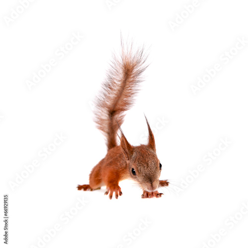 Tuinposter Eekhoorn Eurasian red Squirrel, Sciurus Vulgaris on white