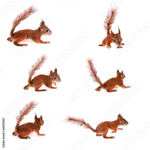 Aluminium Eekhoorn Eurasian red Squirrel, Sciurus Vulgaris on white