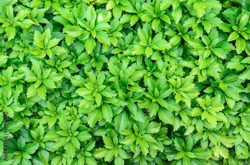 close-up of pachysandra terminalis - green nature background, te
