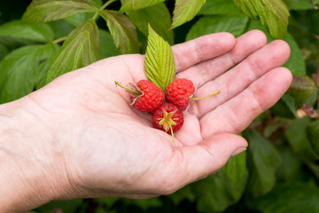 Healthy raspberries.
